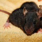 Žiurkės ir pelės